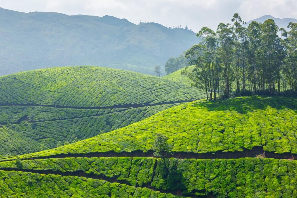 Tea Plantations India